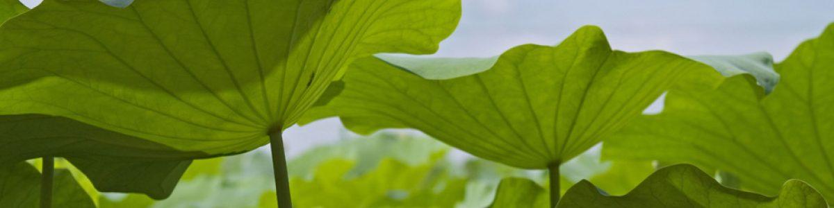 lotusbladeren